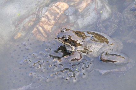 Common Frog (John Grearson)