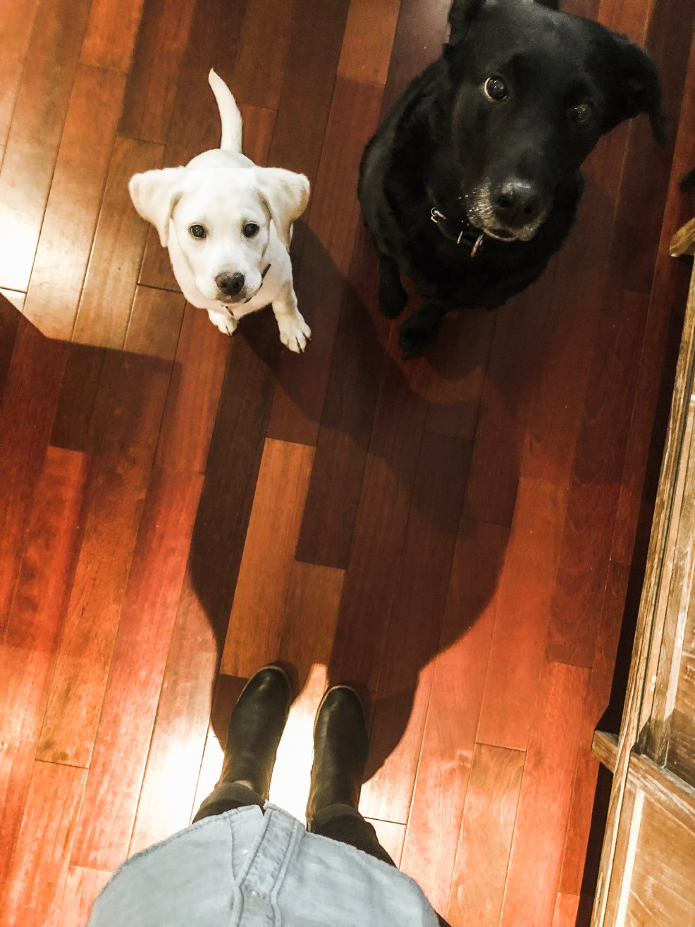 two lab sisters
