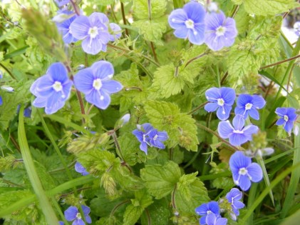 Photo credit: Germander Speedwell anneke1998 via Foter.com / CC BY-NC-SA Original image URL: https://www.flickr.com/photos/51135711@N02/5520631888/