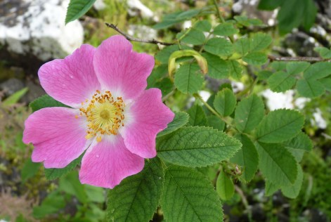 Photo credit: Eigg dog rose damiandude via Foter.com / CC BY-NC Original image URL: https://www.flickr.com/photos/damiaros/9277359001/