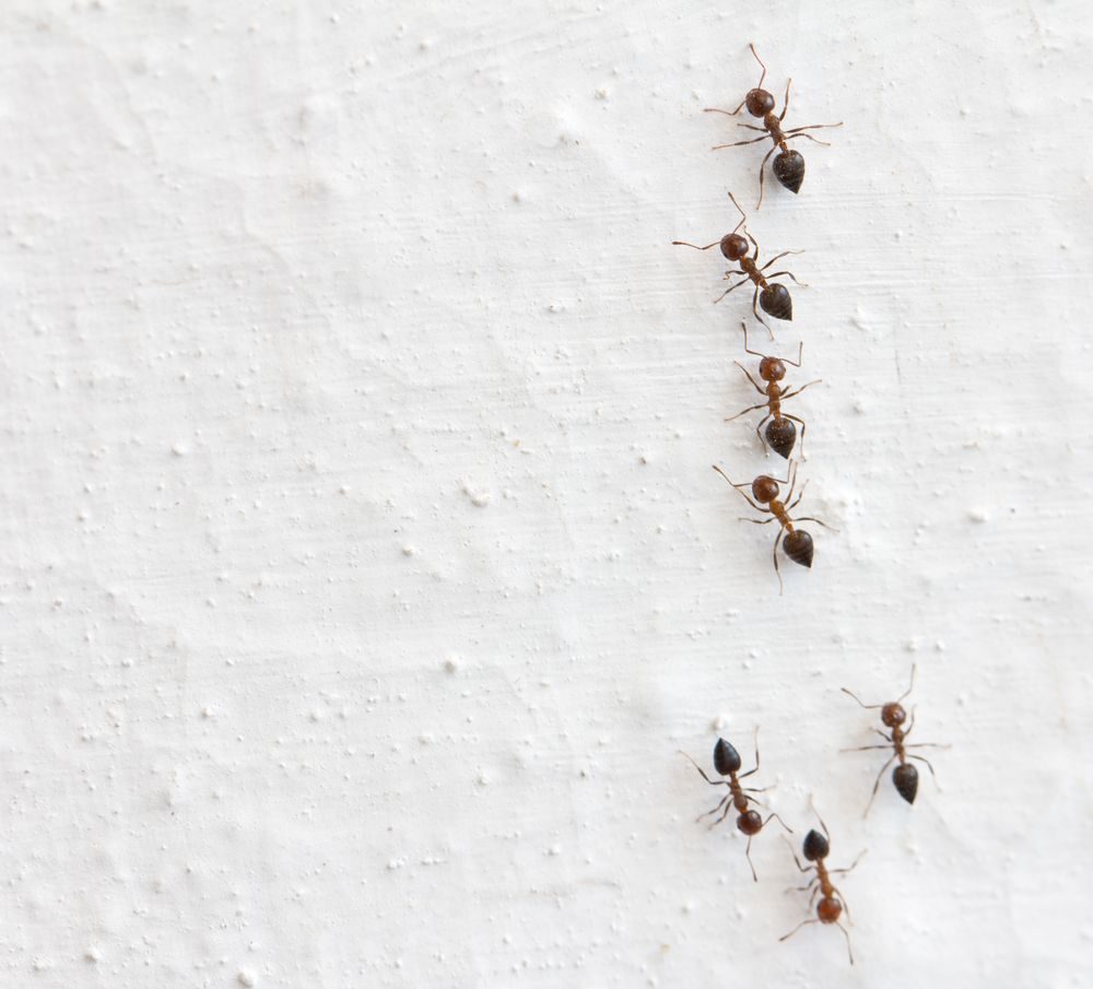 How to battle an ant infestation   Cottage Life