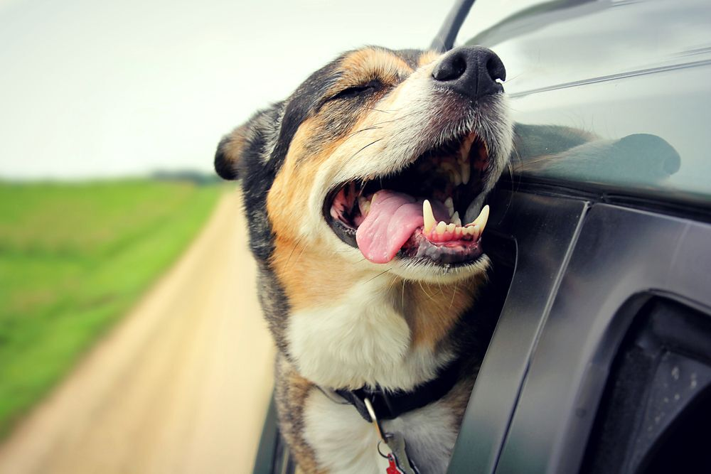 Image result for dog with head out car window