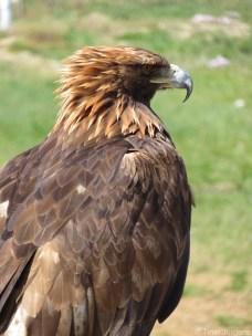 Eagle at Terelj National Park Mongolia