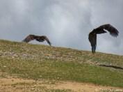 Vultures Gobi Desert Mongolia