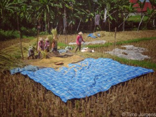 Ladies working at the rice field Bali