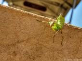 Mantis at Inle Lake Myanmar
