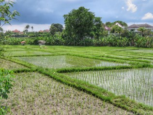 Rice field in front of our hotel Bali