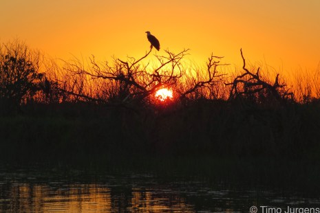 Prowling Eagle at Sunset in the Wetlands