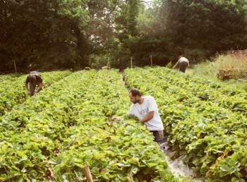 les fraise Gwenolé pour le Coucou Rennais