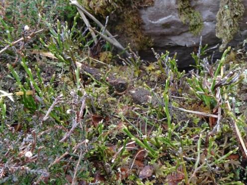 Blaeberry? (also known as Bilberry? Vaccinium myrtillus)