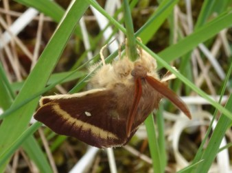 An Oak Eggar (my first, but one of several I saw on this trip. This was the only one not flying around like a maniac)