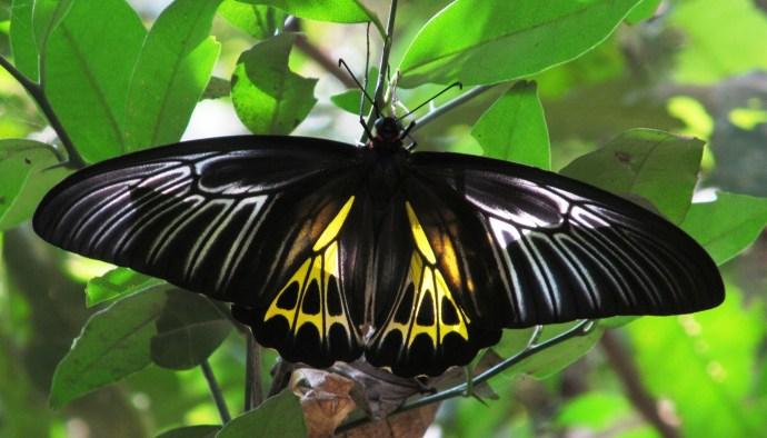 Southern Birdwing female/ Photo credit --- Haneesh KM