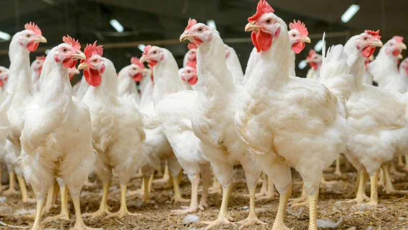 How To Make A Fortune In The Growing Poultry Market!