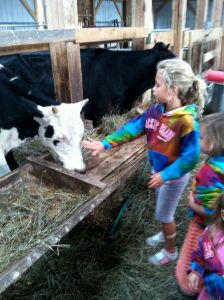 Petting the cows at Pond Hill Farm in Harbor Springs Michigan. We can pet the cows and see them go out on the pasture to eat. We purchase the meat from their on site freezer. We stock up usually 4 months at a time and bring the meat home with us in a cooler. All animals are humanely treated and grass fed!
