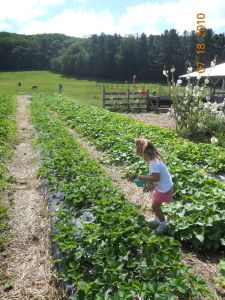 Maya at Pond Hill Farm picking from the pesticide-free strawberrry fields