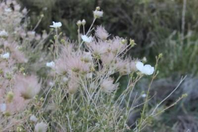 Grand Canyon National Parc - Fleurs sauvages