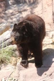 Un Ours Brun qui ne doit pas avoir froid !