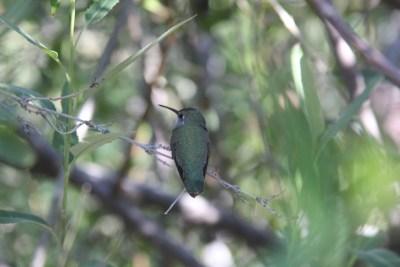 Oiseau-mouche au plumage vert
