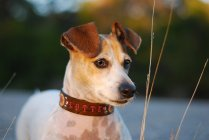 customdogcollar_countryclones