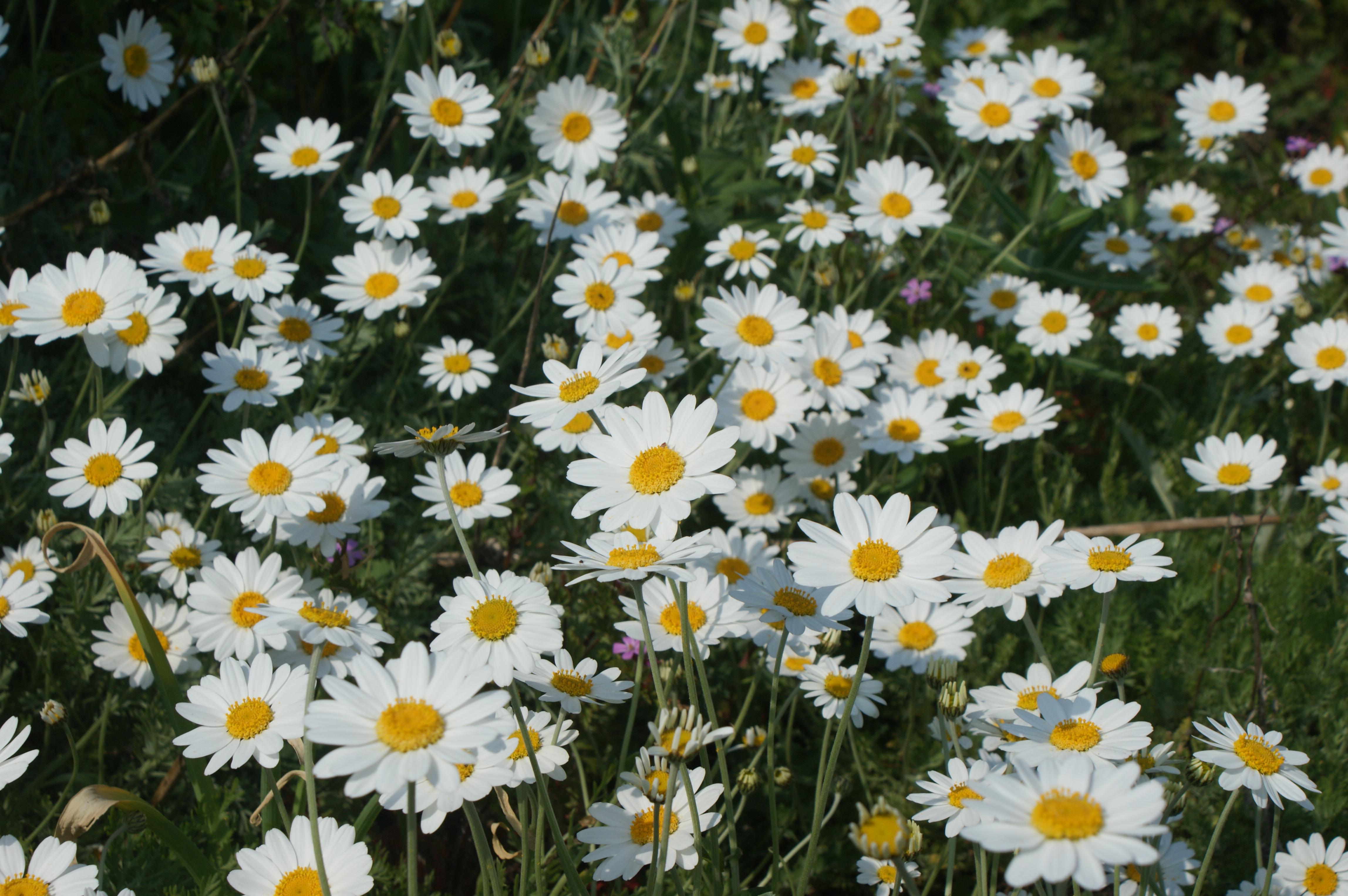 Daisy Flowers Tumblr