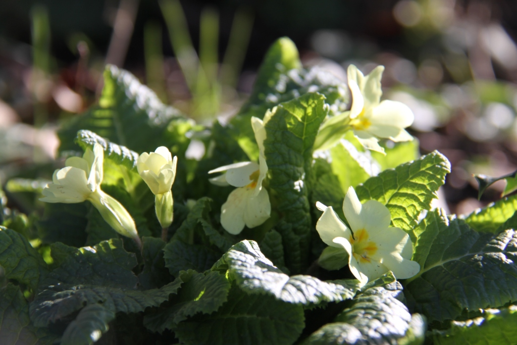 Primroses are a welcome sign that spring is not far away.