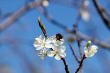 Damson Blossom & Bee