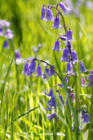 English Bluebells have a nodding habit
