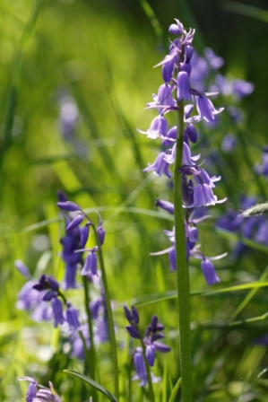 Hybrid Bluebells have more upright stems
