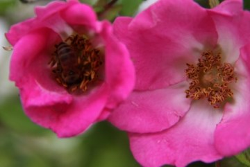 Shrub Rose 02