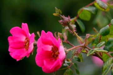 Shrub Rose 03