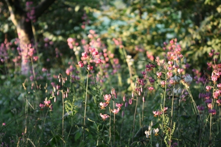 Evening Sun on Martagon Lilies 02