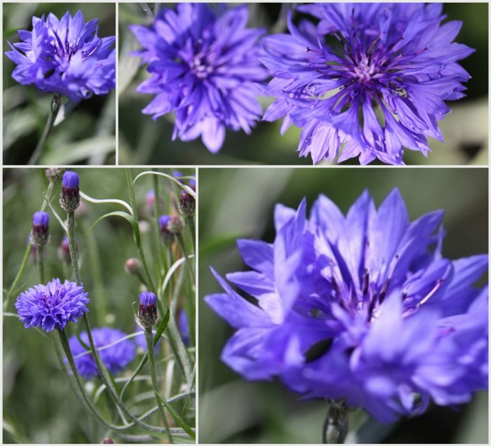 Cornflower-Collage