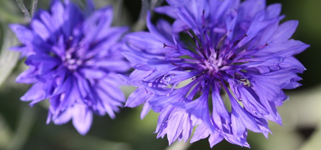 How to collect Cornflower Seeds