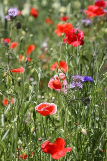 Wildflower Meadow 01