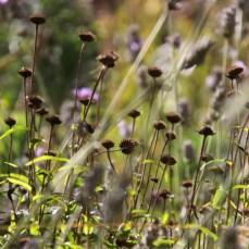 Bupthalmum salicifolium