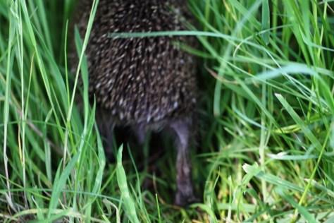 Hedgehog 05