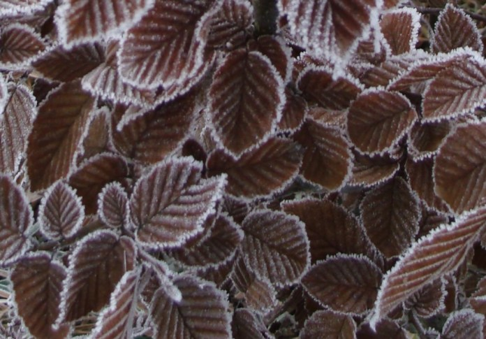 Frosted Hornbeam Leaves