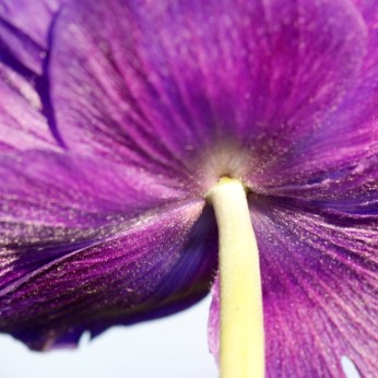 Anemone coronaria 05