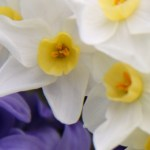 Paperwhites and Hyacinths Thumbnail