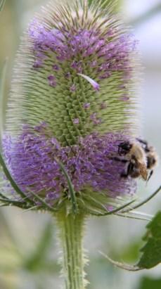 Bees love Teasel flowers