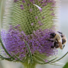 Bees love Teasel flowers