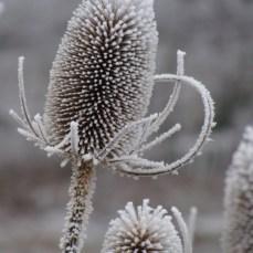 Dipsacus fullonum in winter