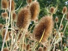 Teasels self seed easily