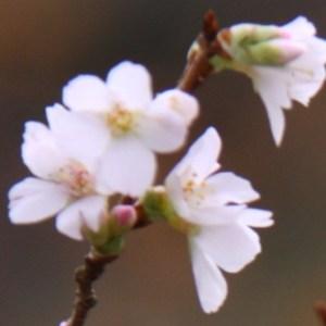 Prunus incisa Thumbnail 01