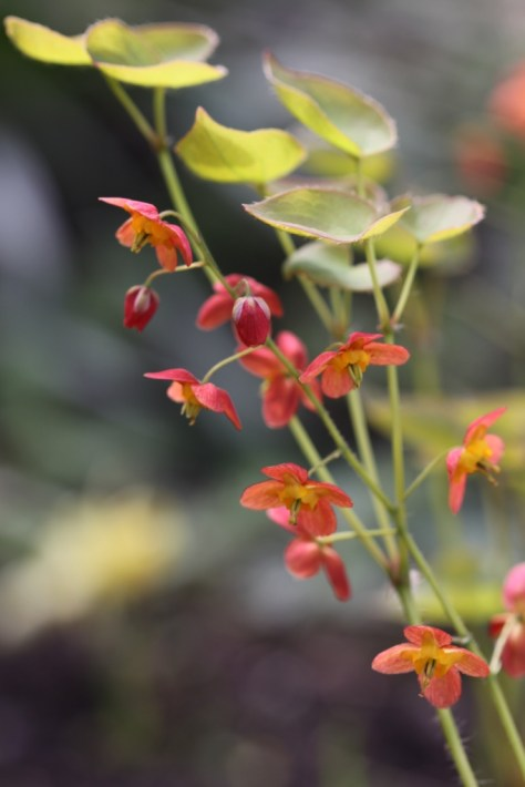 Beautiful Epimedium