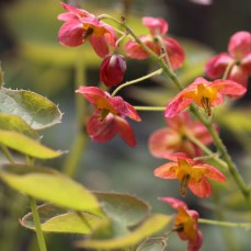 Epimedium Leaves