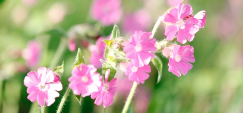 Faded Red Campion