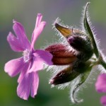 Red Campion Thumbnail