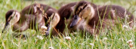 Ducklings Eating