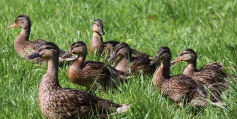 Ducklings with Mother Duck
